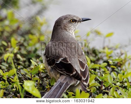 Extreme Close Up of the Northern Mockingbird State Bird of Florida Texas Arkansas Tennessee South Carolina and Mississippsi