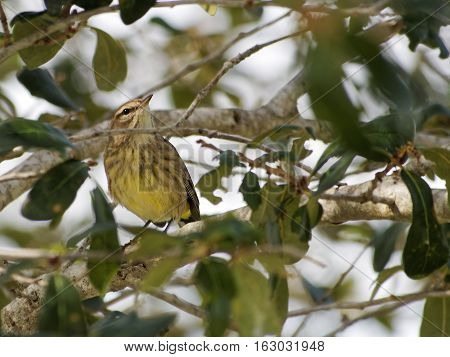 Migratory Palm Warber perched on a tree branch head tilted slights up turned in profile