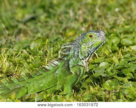 Alert baby Green Iguana camouflaged in grass