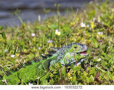 Young Green Iguana eating weeds in grass