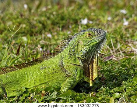 Alert baby Green Iguana in grass with neck dewlap hanging down