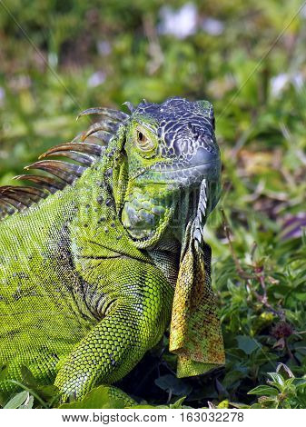 Close up of Green Iguana with head turned making eye contact having a staring contest. Neck dewlap is hanging down