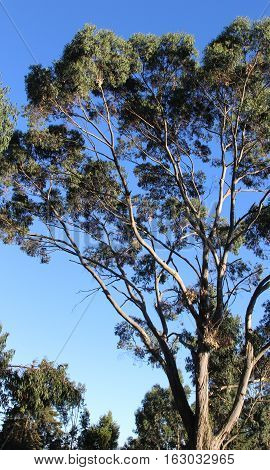 A tall eucalyptus tree view on a sunny day