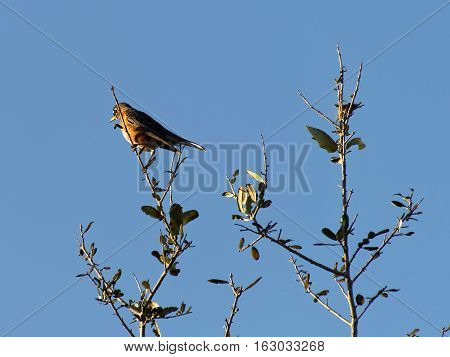 American Robin perched on top of tree against backdrop of clear blue sky