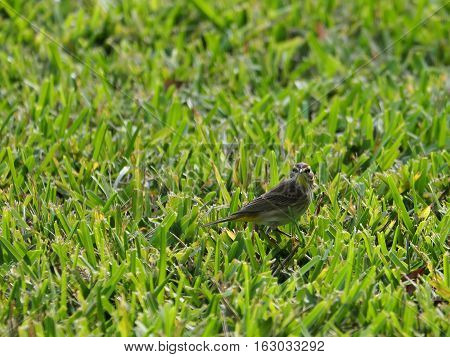 Staring Palm Warber partially camouflaged blending in with grass