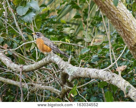 Profile view of American Robin bird on tree branch