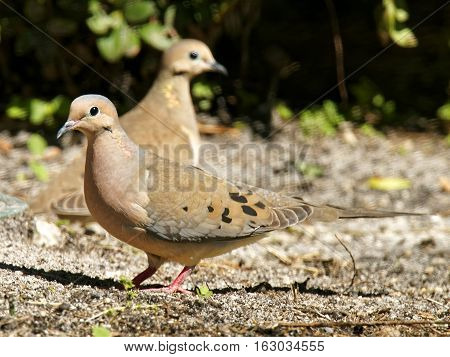 Pair of Mourning Doves on the ground