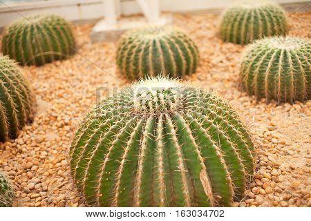 Beautiful cactus flowers  in garden of Thailand.