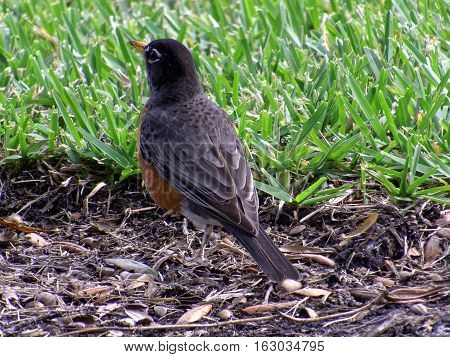 Rear view of American Robin on ground with head slightly looking out over the grass