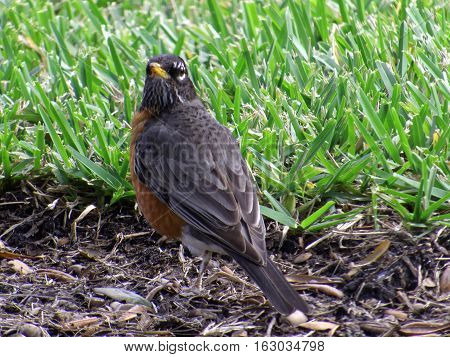 Rear view of American Robin on ground with head turned over shoulder staring