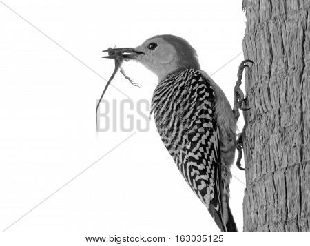 Red-bellied woodpecker on trunk of a tree with a captured lizard in its beak. Head turned in profile