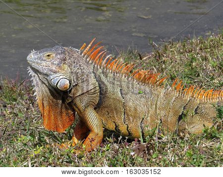 Male Green Iguana displaying bright orange dewlap and breeding colors by lake