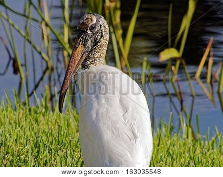 Woodstork sitting on green grass by a South Florida lake. Profile view head slightly turned.