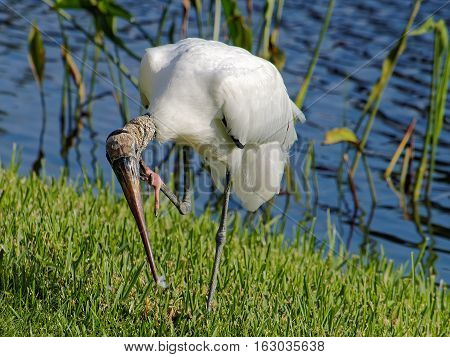 Woodstork standing in grass on one foot leaning down to scratch neck with claw of other foot feather dust caught on tip of beak