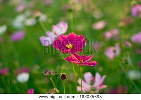 Beautiful pink cosmos flowers in garden near river.