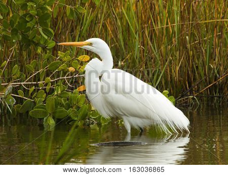 Great Egret wading the banks of Florida's Indian River in search of dinner