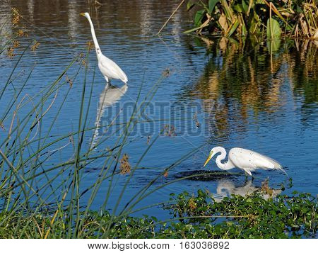 Great Egrets with breeding colors in water in Florida Wetlands