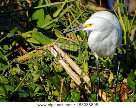 Snowy Egret in green foliage with head turned in profile