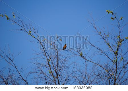 An American robin (Turdus migratorius) perches on a treetop in Joliet, Illinois during June.