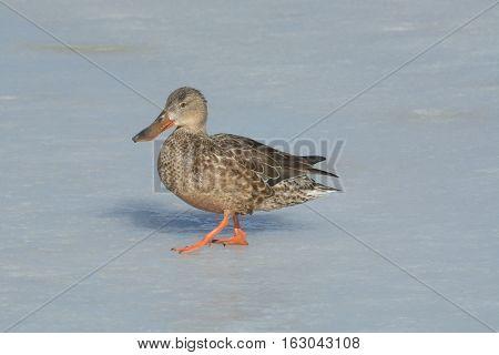 Northern Shoveler Duck hen walking across ice of frozen winter lake