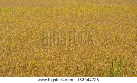Picture is close-up to the cornfield background