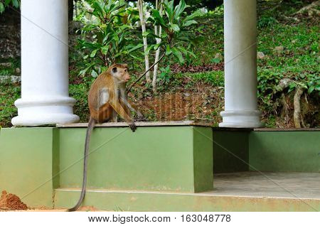Funny monkey with a long tail sitting in the gazebo Botanical Garden (Kandy Sri Lanka)