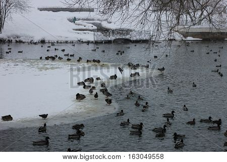 Wild ducks on snow in park photo