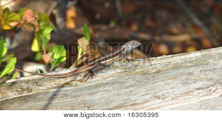 Florida Scrub Lizard (Seloporus woodi)