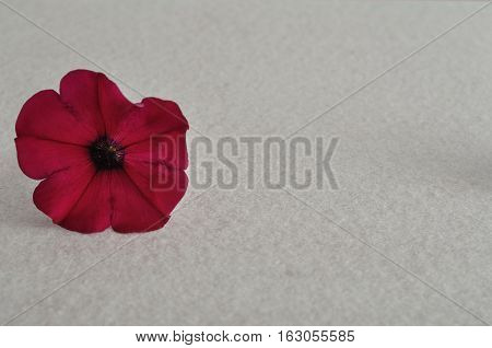 Purple petunia isolated against a white background