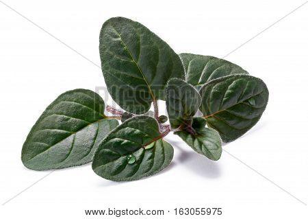 Wild Oregano (origanum) Leaves, Paths