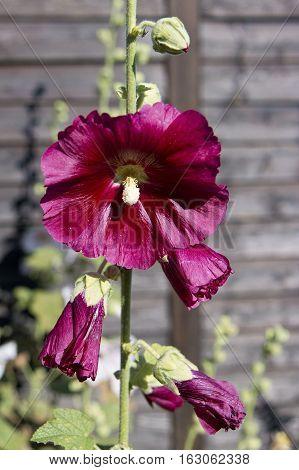 closeup on a purple hollyhock in a garden