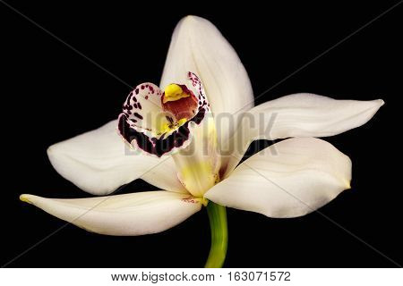 Close-up of white cymbidium boat orchid flower. Zen in the art of flowers. Macro photography of nature.