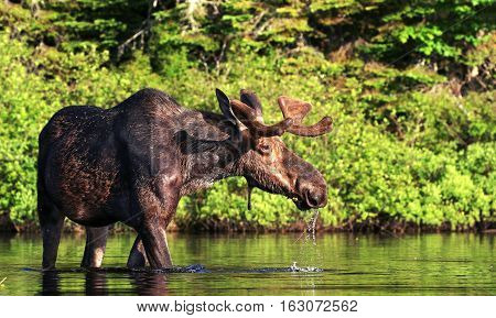 A wildlife capture of a North American moose standing in the water. Dec 2016