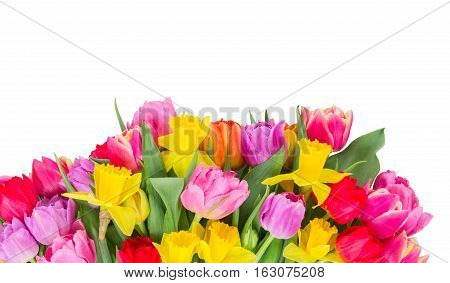 fresh pink, purple and red tulips and yellow daffodils border isolated on white background