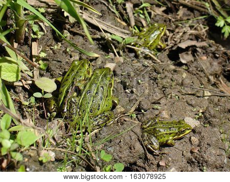 Four cute green frogs in forest spring time