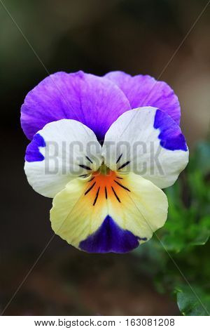 Pansy (Viola) are a genus of the violaceae (Violacea). The flowers of violets are edible