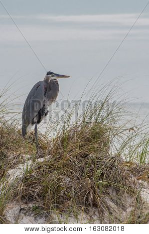 Heron on Coast Shivering in a COol Wind Vertical