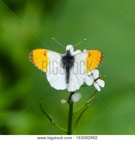 orange tip butterfly Anthocharis cardamines,here in Czech republic