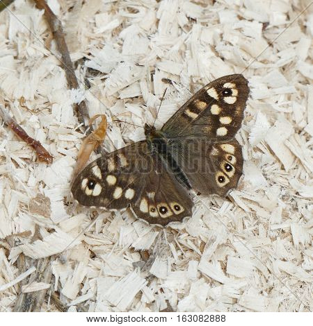 Speckled Wood (Pararge aegeria) butterfly,photo taken in Czech republic poster