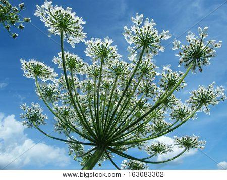 Heracleum Mantegazzianum Flower, Caucasus