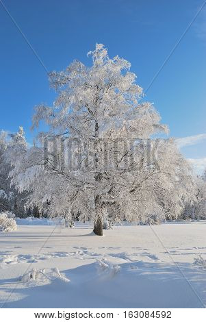 Beautiful snow-covered tree in a sunny winter day in the park of Imatra Finland