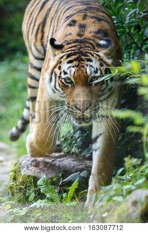 Siberian Tiger Moving Towards The Camera