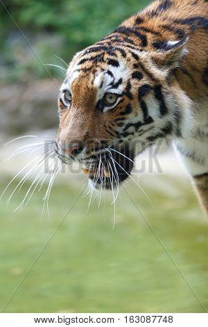 Potrait Of A Siberian Tiger