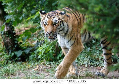 Amur Tiger Walking In The Forest