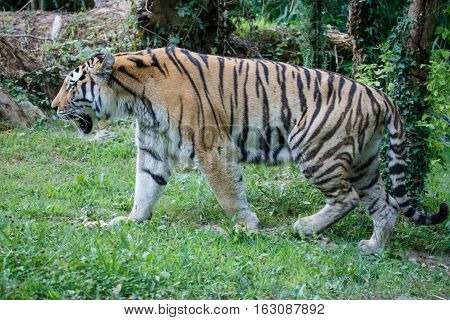 Side View Of A Amur Tiger In The Forest