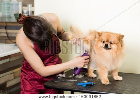Groomer woman haircut cute pomeranian in hair service. Dog grooming