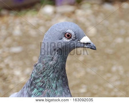 The closeup of pigeon in the park