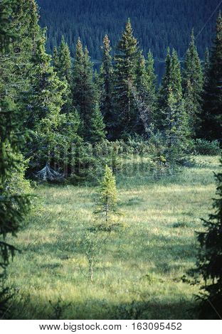 Green Summer Forest Of Spruces