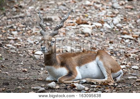 Blackbuck Or Indian Antelope Resting On The Ground.