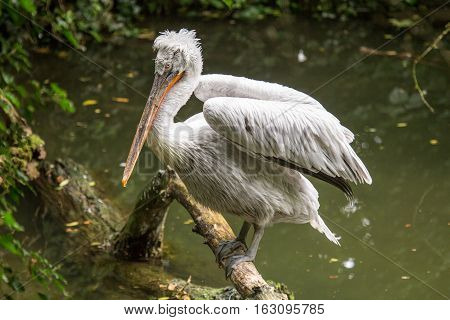 Dalmatian Pelican Perched On A Log Emerging From The Water